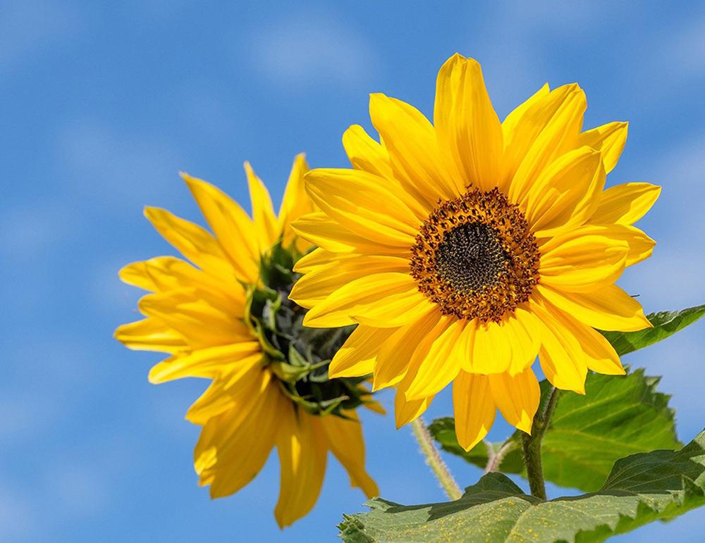 Sinistä taivasta vasten on kaksi kirkkaan keltaista auringonkukkaa toinen sivuttain ja toisen kukka suoraan katsojaan.