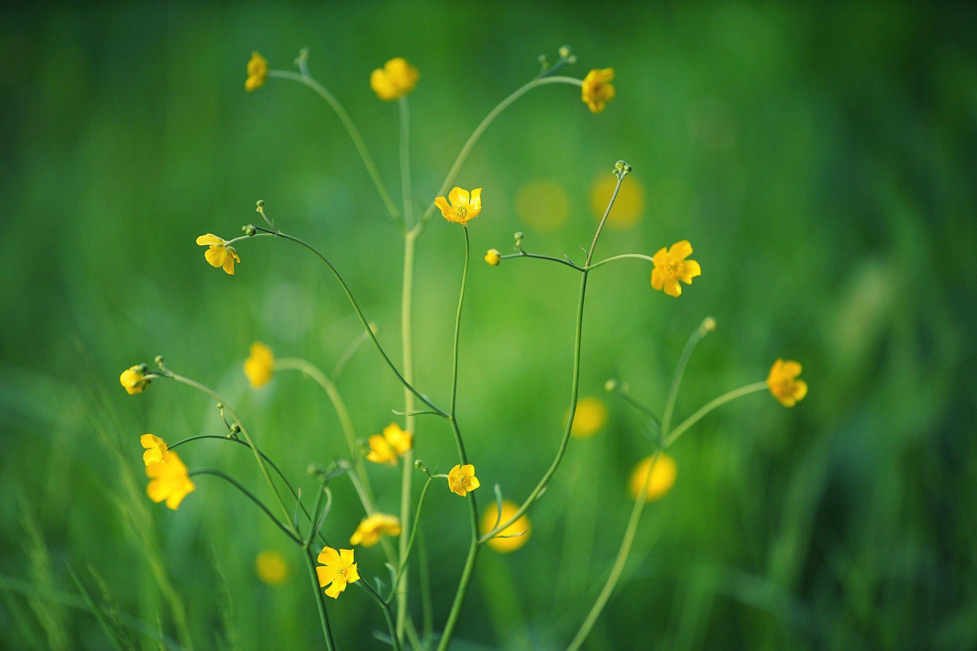 Keväisen vihreällä niityllä kasvaa hentoja keltaisia Niittyleinikkin kukkia.