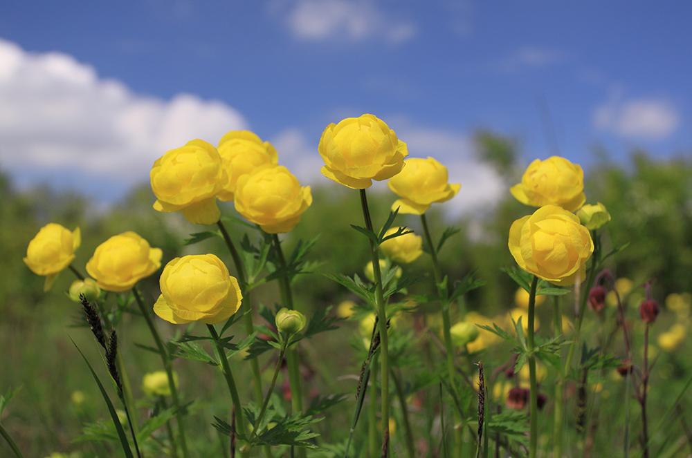 Sininen taivas jossa poutapilviä ja niityllä kasvaa keltaisia kullerokukkia.